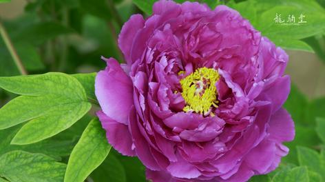 牡丹花开疫情后,春色映入人心中